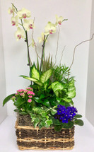 Large Mixed blooming garden basket with orchid plant