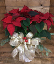 """8"""" Red poinsettia in a basket with fancy bow"""