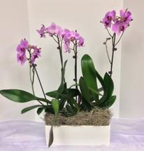 Triple phaleonopsis orchid planter