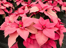 Jumbo Pink Poinsettia in a Basket with Christmas bow