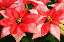 Large Monet Poinsettias in a Basket with Christmas Bow