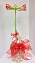 Peppermint Amaryllis in Basket with Bow