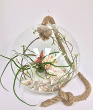 Desktop or Hanging Large Terrarium with Giant Airplant