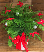 """Decked out 12"""" Norfolk Island pine with bows and balls"""