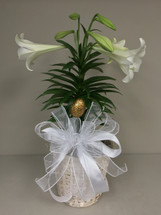 Easter Elegance single Easter Lily