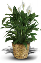 Simply Elegant Spathiphyllum (Peace Lily) - Large