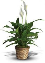 Simply Elegant Spathiphyllum (Peace Lily) - Small