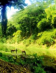 Sablau, Nadi, Fiji  Seru leading the horses down to the river in Sablau.  Photo © 2015 Joy Patman
