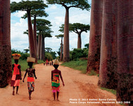Madagascar  According to Malagasy legend, the first baobab sprouted beside a small lake. As it grew, it noted the colorful flowers, large leaves, and slender trunks of the trees around it. One day the wind died away, leaving the water as smooth as a mirror.  When the baobab saw its reflection, it was shocked to realize its own flowers were dull, its leaves were tiny, and its trunk grossly fat. The baobab complained to the creator, who responded by yanking the ingrate from the ground and replanting it upside down so that it could not see its reflection or complain. Since then, it has worked in silence, paying off its ancient transgression by providing fruit, medicinal leaves, and shelter for those who live nearby.  Photo © 2011 Amber Brooke Davis;  featured in the 2014 International Calendar