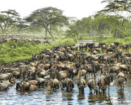 Serengeti National Park, Tanzania  Herds of wildebeests, numbering in the hundreds of thousands, congregate at a watering hole to rest and drink their fill before continuing their northward migration to the adjoining Maasai Mara National Reserve in Kenya. The low sound of contented grunts and quiet mooing drifts through the dust kicked up by so many hooves.  Photo © 2014 Mary Crave; featured in the 2015 International Calendar