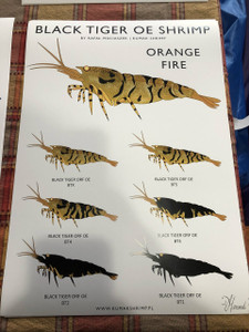 Black Tiger OE Shrimp Orange Fire (s&h included)