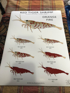 Red Tiger Shrimp Orange Fire (s&h included)