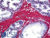 Anti-ACTA2 / Smooth Muscle Actin Antibody (clone 1A4) IHC-plus LS-B5147