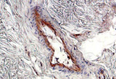 Fibronectin IHC Antibody