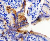 HSP60 IHC Antibody