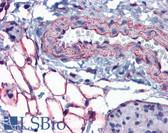 Anti-PTRF / CAVIN Antibody (aa177-226) IHC-plus LS-B5629