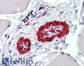 Anti-ACTA2 / Smooth Muscle Actin Antibody (clone 1D11-2B9) IHC-plus LS-B6000