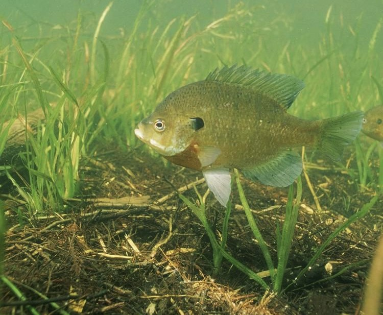 How to Catch Bluegills Through the Seasons - Simple Tips to
