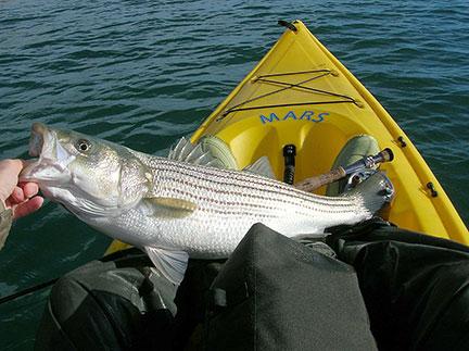 Striped Bass Caught From A Kayak