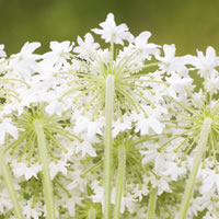 The Spiritual And Magical Properties Of Jasmine Original Products