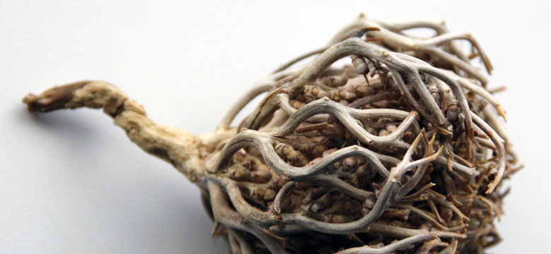Spiritual Uses of Rose of Jericho