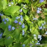 1-brunnera-macrophylla-2-copy.jpg