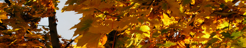 acer-ornamental-trees-banner.jpg