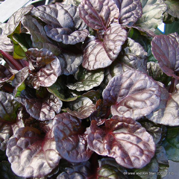 ajuga-black-scapllop-sim-pic-forest-and-kim-starr-cc-by-2.0-.jpg