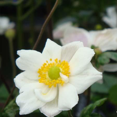 anemone-honorine-jobert-3.jpg