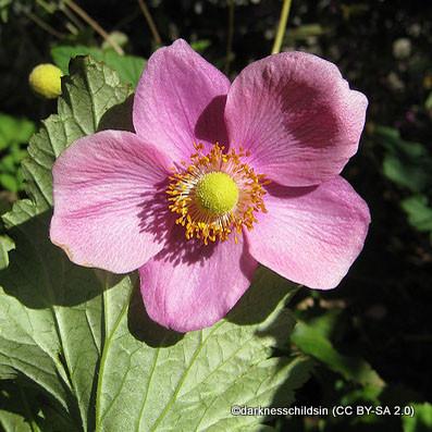 anemone-hupehensis-splendens-darknesschildsin-cc-by-sa-2.0-.jpg