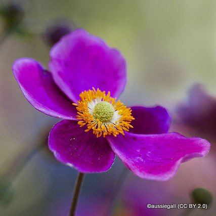 anemone-multifida-rubra-aussiegall-cc-by-2.0-.jpg