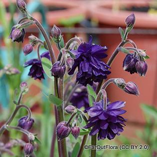 aquilegia-black-barlow-faroutflora-cc-by-2.0-.jpg