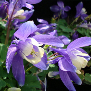 aquilegia-cameo-blue-and-white-.jpg