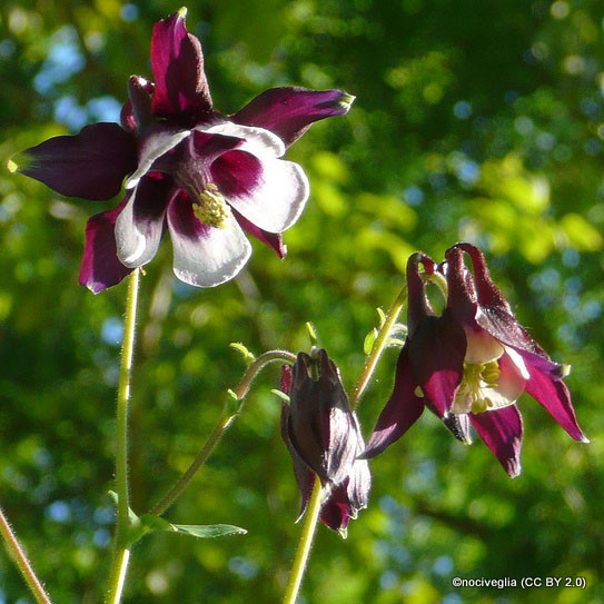 aquilegia-william-guinness-nociveglia-cc-by-2.0-.jpg