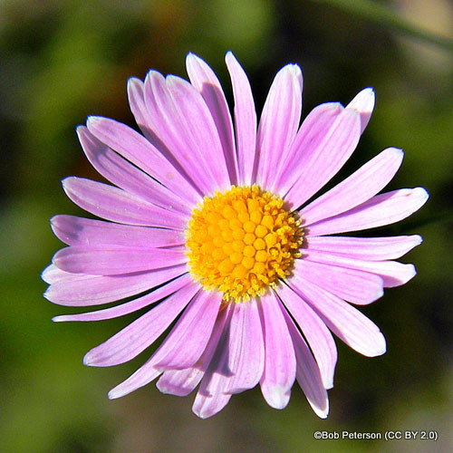aster-alpinus-pinkie-sim-bob-peterson-cc-by-2.0-.jpg