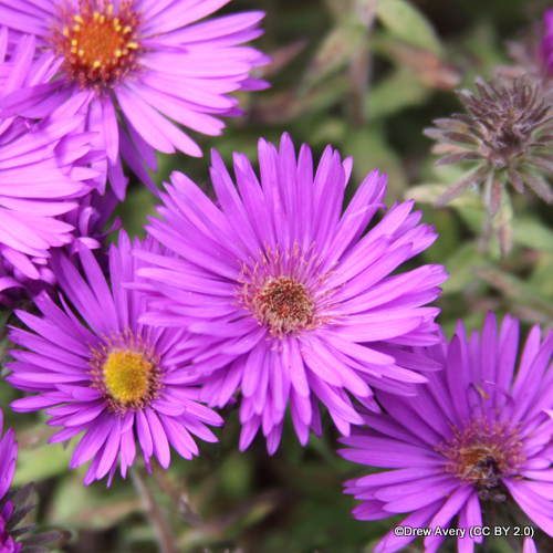 aster-purple-dome-drew-avery-cc-by-2.0-.jpg