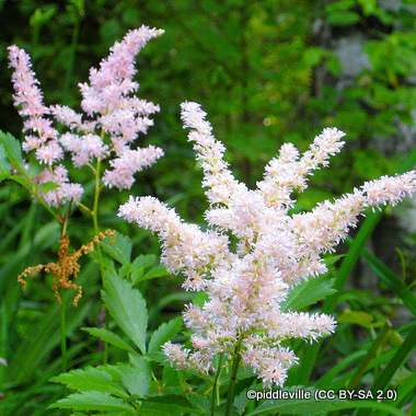 astilbe-jap.-washington-piddleville-cc-by-sa-2.0-.jpg