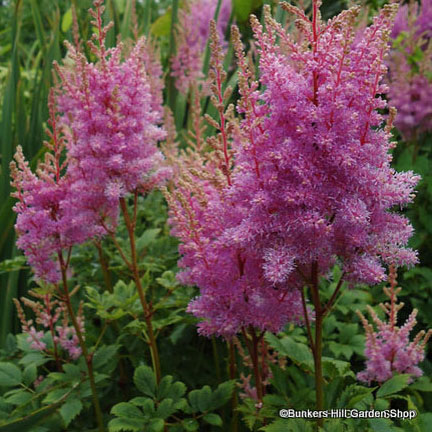 astilbe-x-arendsii-hyazinth-chinensis-visions-.jpg