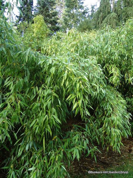 bambooo2.jpg