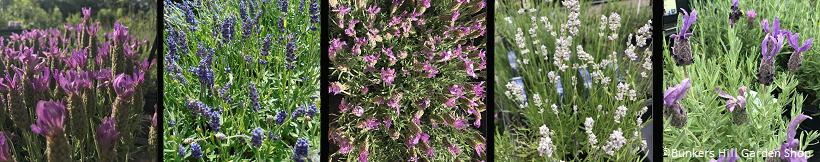 banner-lavender.jpg