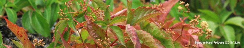 banner-parthenocissus-blondinrikard-fr-berg-cc-by-2.0-v1.jpg