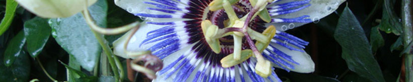 banner-passion-flower.jpg