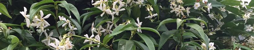banner-trachelospermum.jpg