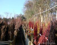 bareroot-hedging-category-image.jpg
