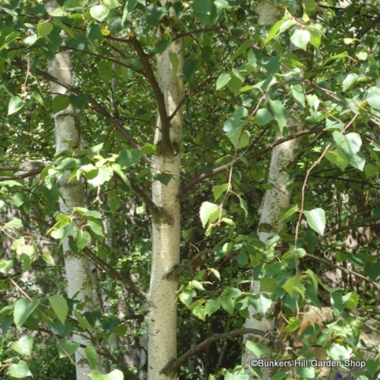 betula-pendula2.jpg