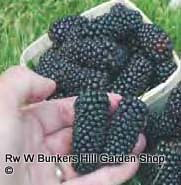 blackberry-black-butte-square.png