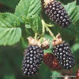 blackberry-merton-thornless-square.png