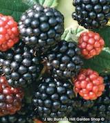 blackberry-waldo-square.png