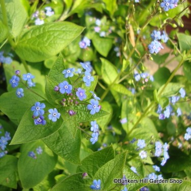 brunnera-macrophylla-2-copy.jpg