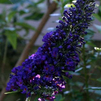 buddleia-ali-graney-cc-by-2.0-.jpg